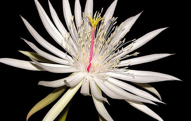 Les espèces de cactus à fleur blanches