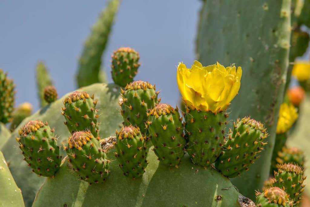 cactus à fleur