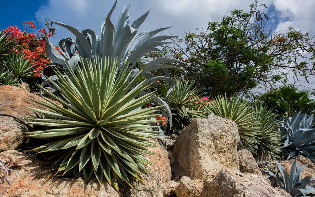 Plante succulente espèces représentatives