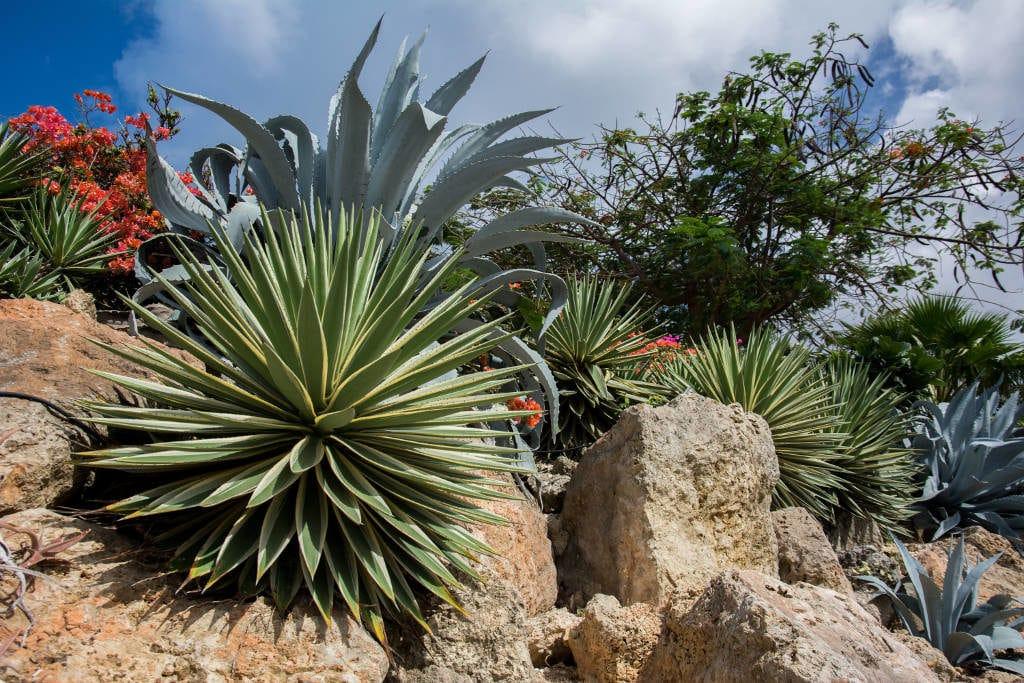 espèces représentatives succulentes