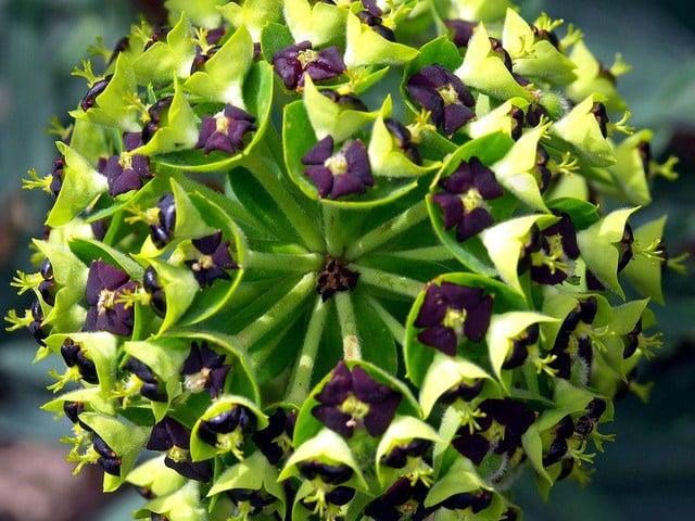 euphorbia-characias