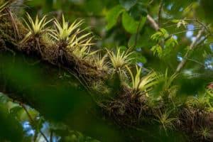 mini cactus-épiphytes