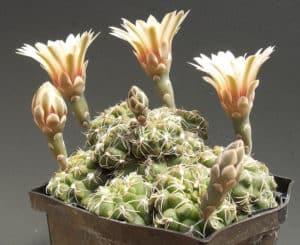 mini cactus_Gymnocalycium amerhauseri