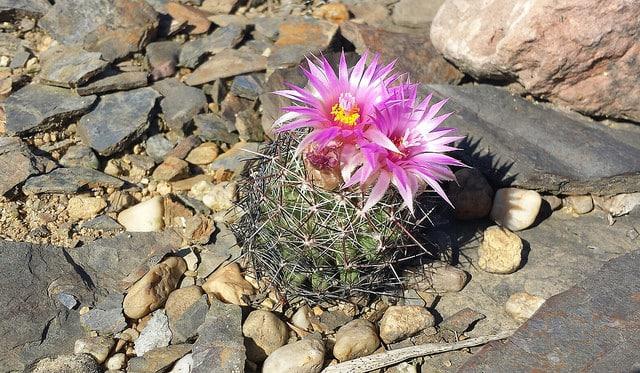 mini cactus_coryphantha vivipara