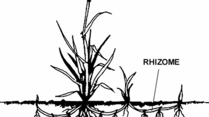 Qu'est-ce qu'une plante rhizomateuse ?