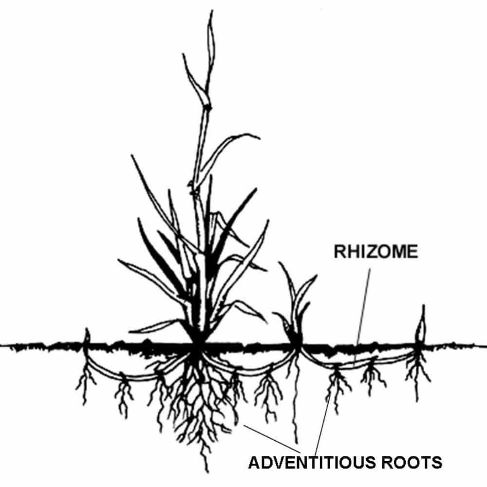 plante rhizomateuse