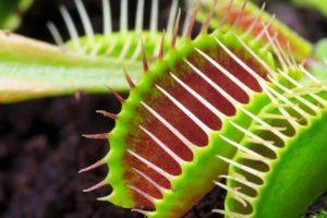 venus_flytrap_plante carnivore