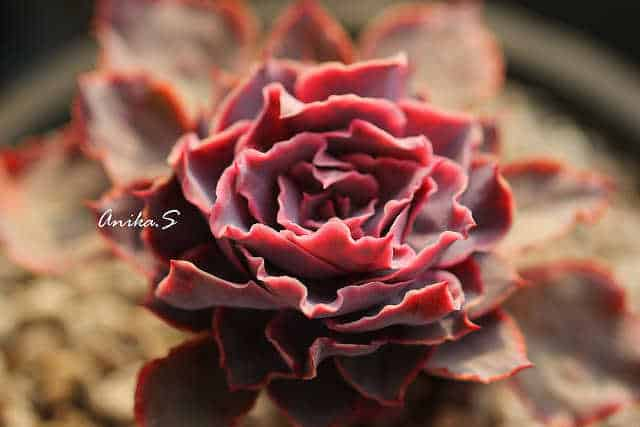 Echeveria-Morning-Light