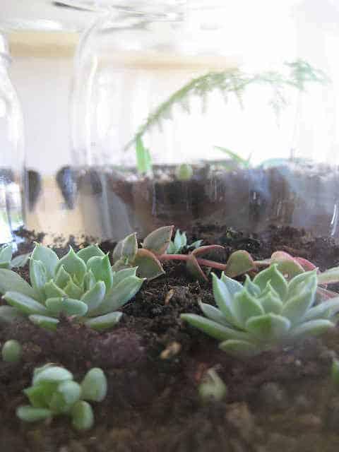 Astuce entretien des plantes succulentes