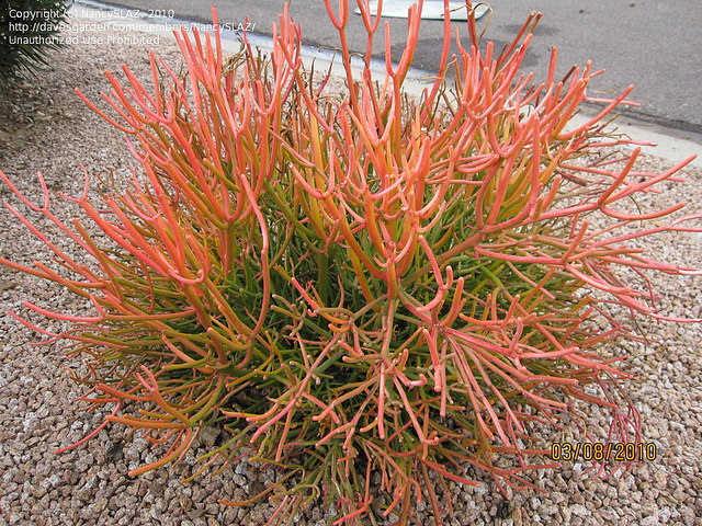 Euphorbia tirucalli Rosea