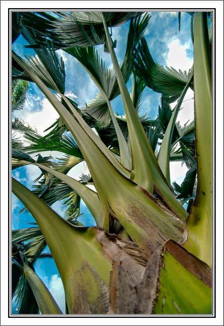 palmier tallipot