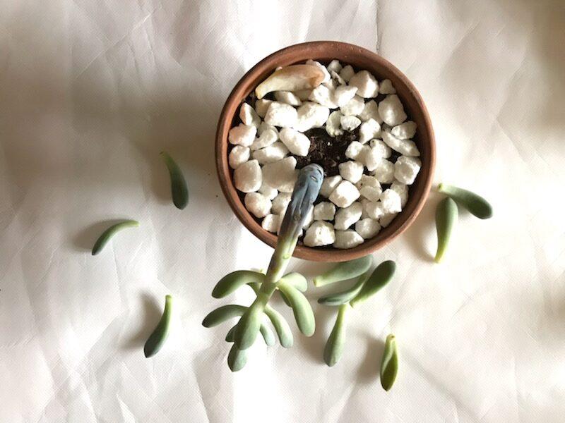 plante succulente morte