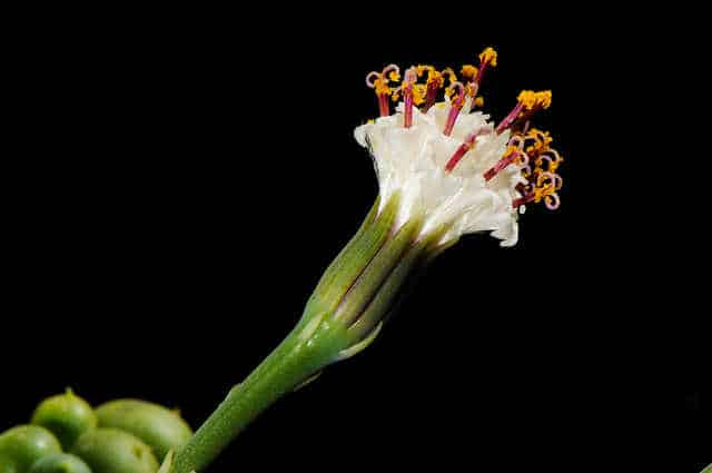 4. Senecio rowleyanus source Flickr/ Bahamut Chao/ https://bit.ly/2CWBPMt