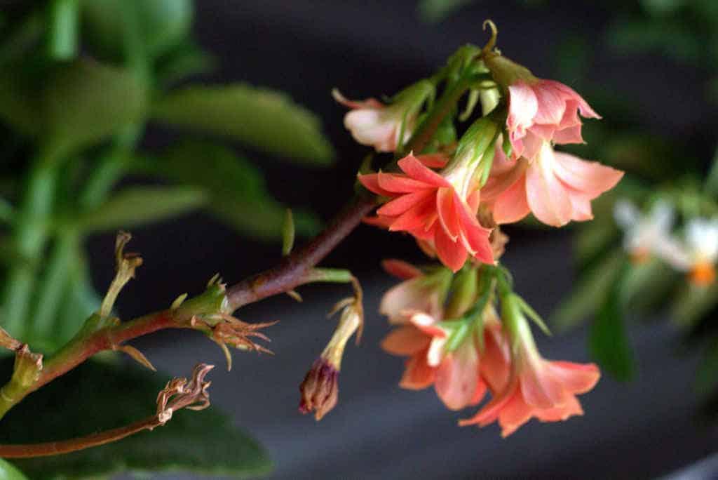 kalonchoe-succulente-retombant