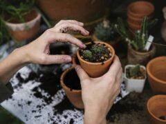 Comment bouturer un cactus étapes par étapes