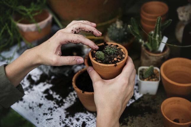 bouturer un cactus