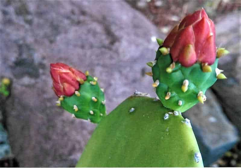 bouturer un cactus figue de barbarie