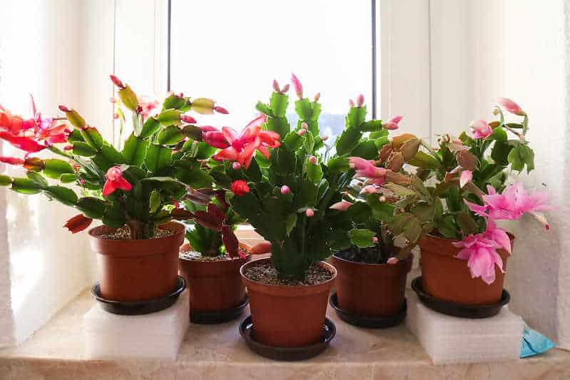 cactus de noel - Schlumbergera truncata