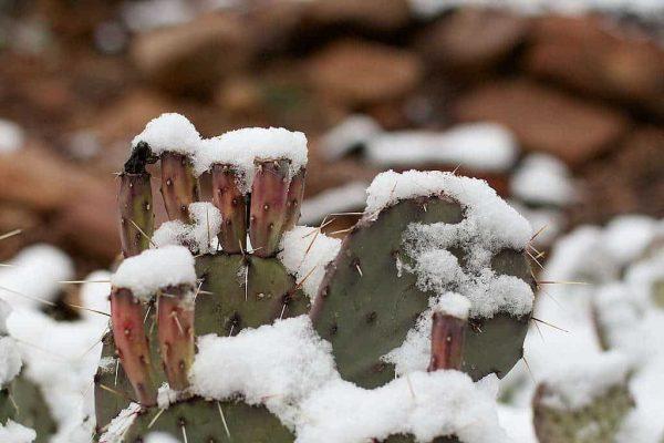 Quels sont les cactus les plus résistants au froid ?