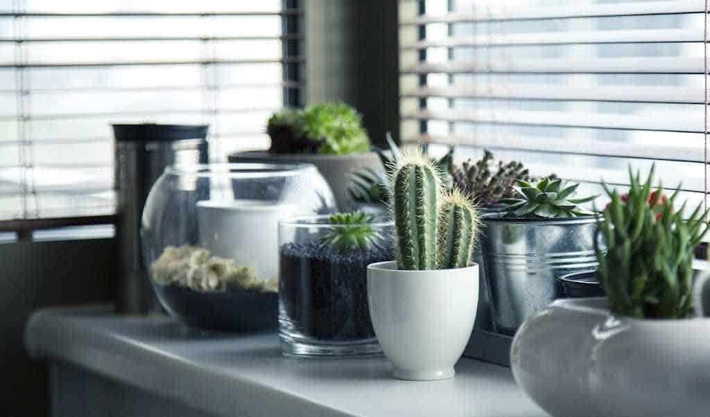 entretien des cactus