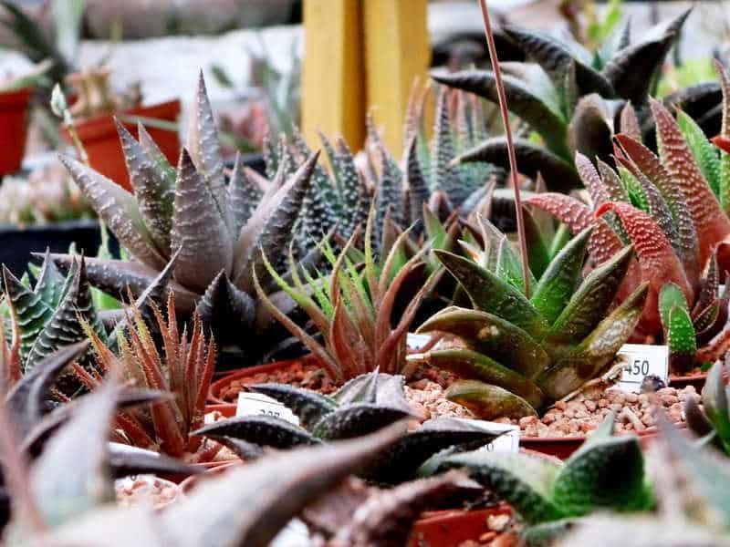 haworthias - bouture cactus