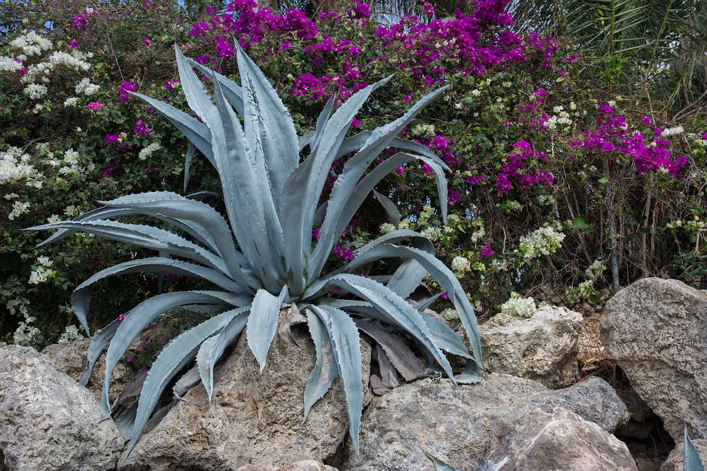 sauver une agave mourante