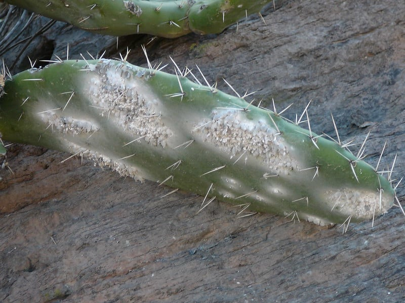 Taches blanches cochenille cactus