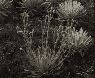 asteraceae senecio Espeletia