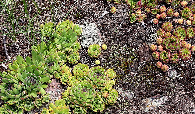 Quelles sont les plantes couvre sol résistantes à la sécheresse ?