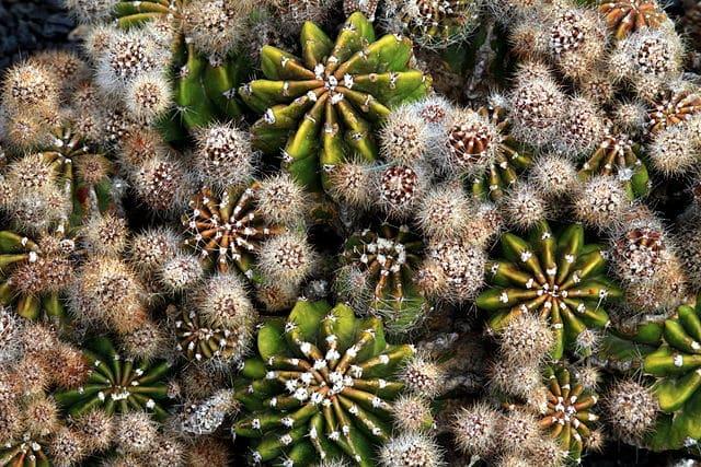 Cactus en bonne santé : source wikimedia - jardin de lanzarote
