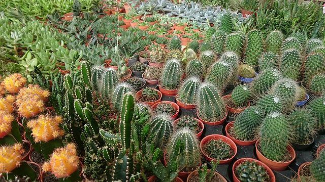 terre pour cactus en pot
