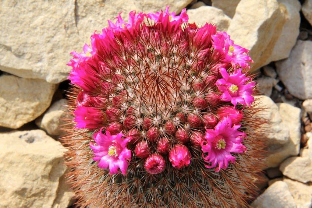 Mammillaria_spinosissima_pm