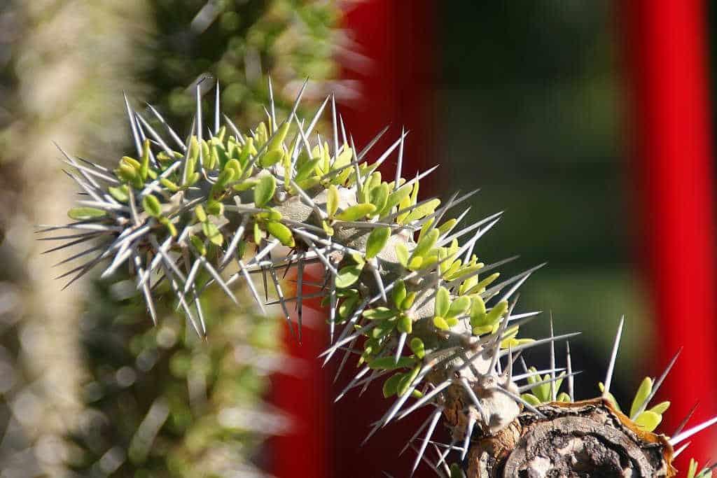 Didiereaceae - Didierea_trollii