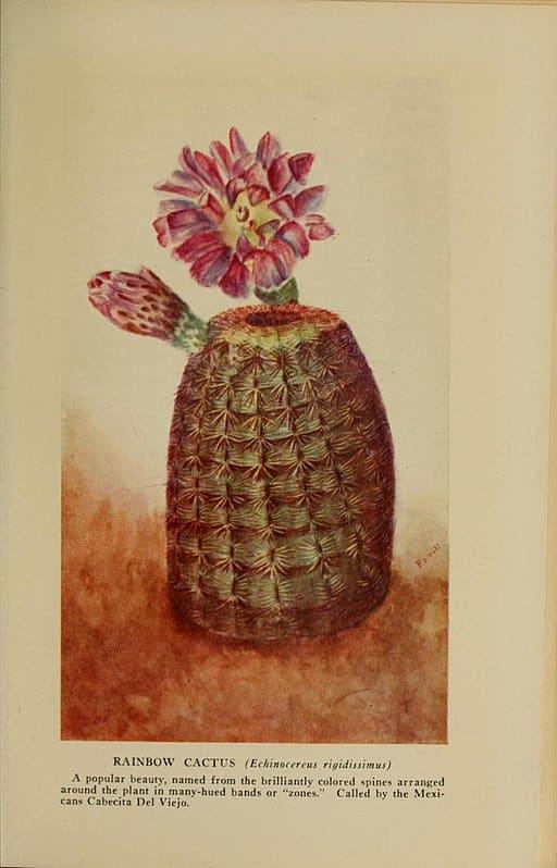 echinocereus en fleur