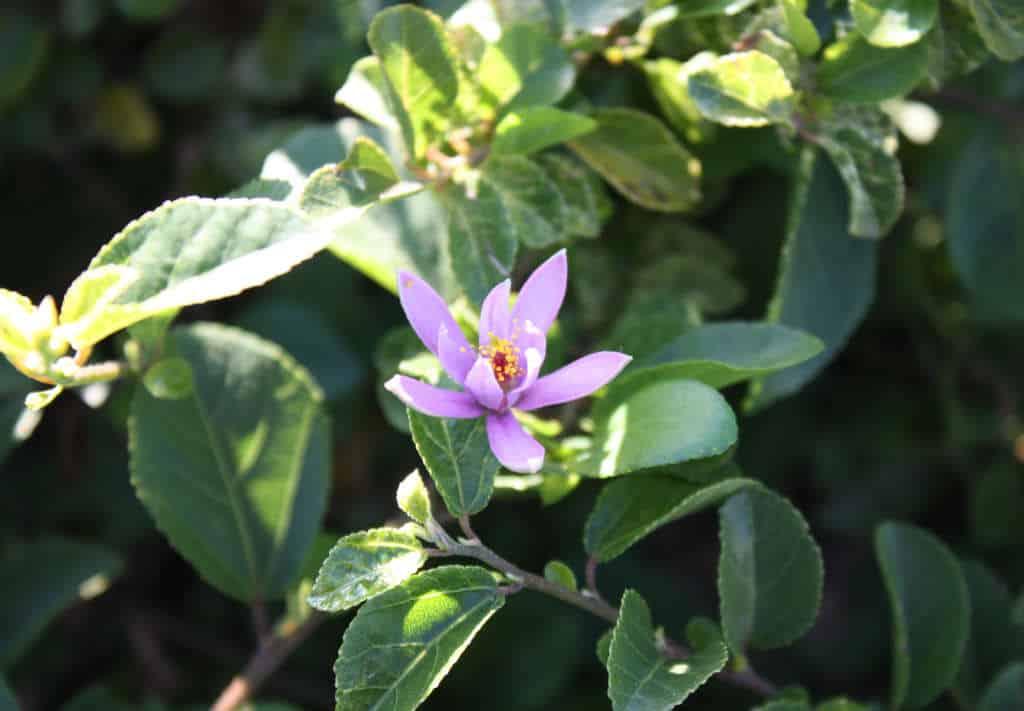 Grewia_robusta ou raisin karoo