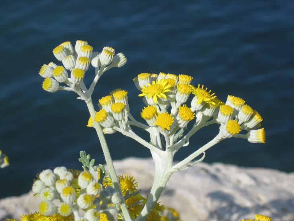Helichrysum_italicum