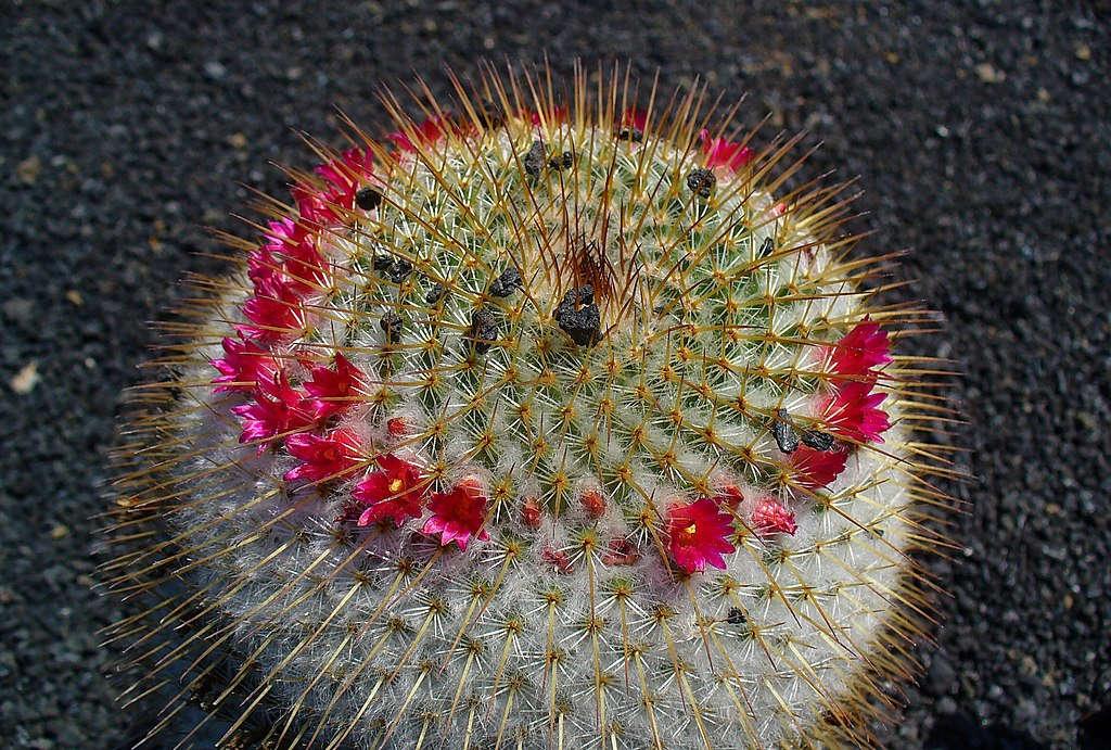 Mammillaria_spinosissima_pilacayensis_002