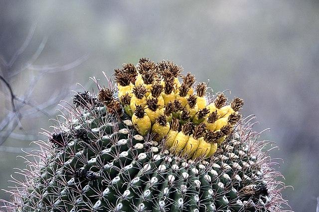 cactus à fleur baril