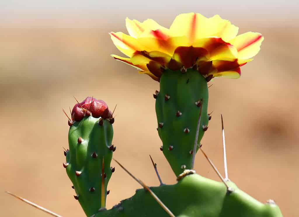 cactus-en-fleur-Opuntia_phaeacantha