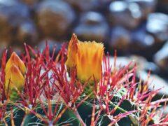 Tout savoir sur les cactus à fleurs
