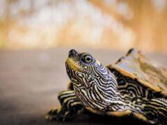 Quelles sont les plantes succulentes préférées des tortues ?